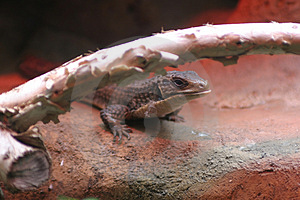 Creepy Skink Royalty Free Stock Images - Image: 1729