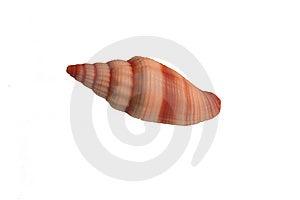 Close-up foto di una conchiglia, isolato su sfondo bianco.
