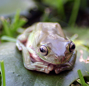 Frog up close Royalty Free Stock Photography
