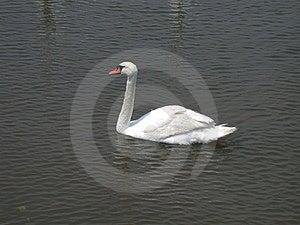 Única natação da cisne Imagens de Stock Royalty Free