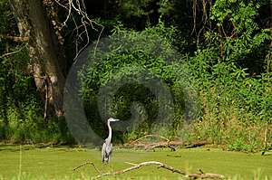 Heron On Branch Stock Photos - Image: 8003