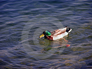 Mallard Royalty Free Stock Photo - Image: 8745
