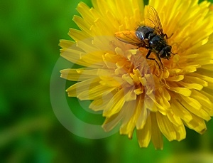 Dandelion And Fly Stock Image - Image: 8771