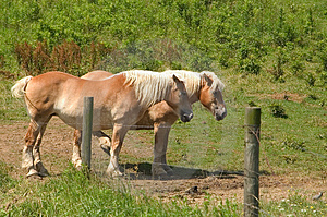 Pair Of Belgian Horses Stock Images - Image: 8844