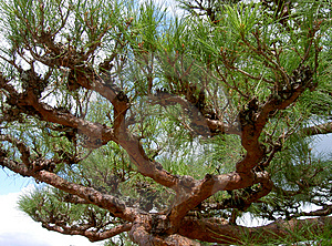 Pine Branches Stock Images - Image: 8894
