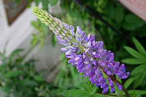 Purple lupin Stock Images