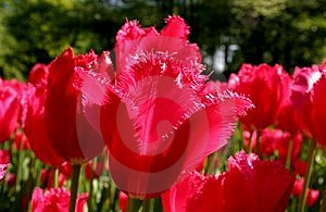 Tulipes Rouges Images stock - Image: 10104