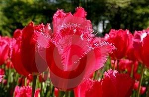 红色郁金香 库存图片 - 图片: 10104
