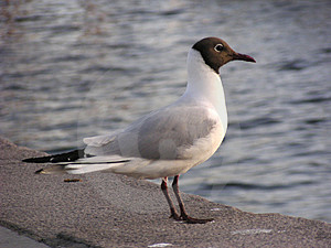 Hooded Gull (Norway) Stock Photography - Image: 10512