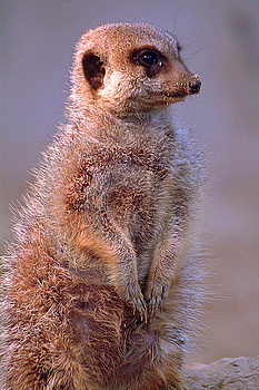 Meerkat pose Royalty Free Stock Photography