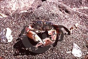 Promenade de crabe Image stock