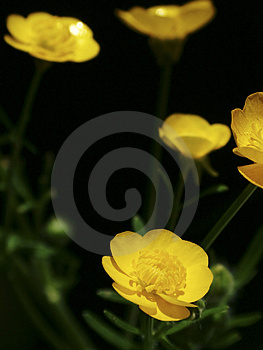 Buttercups Stock Photos - Image: 11523