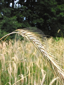 Winter Wheat – 1 Foto De Archivo