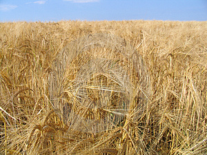 Wheat Gold Stock Photo - Image: 12230