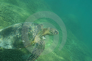 Green Sea Turtle Photo Royalty Free Stock Image