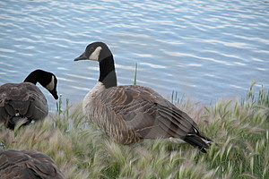 Canadian Geese Royalty Free Stock Photography - Image: 12697