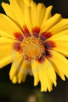 Yellow Blossom Stock Images - Image: 12754