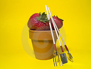 Potted Strawberries 2 Stock Photo - Image: 13140