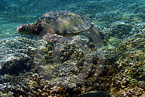 Sea Turtle Photo Royalty Free Stock Image
