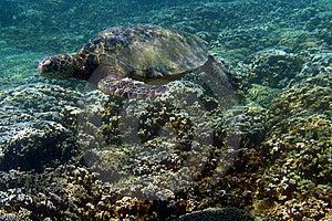 Dennego żółwia fotografia Obraz Royalty Free