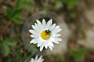 Bee With White Flower Royalty Free Stock Photos - Image: 14778