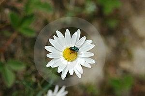 Μέλισσα με το άσπρο λουλούδι Στοκ φωτογραφίες με δικαίωμα ελεύθερης χρήσης