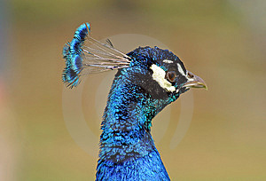 Peacock Royalty Free Stock Images - Image: 15579