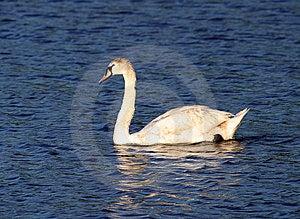 Swan Stock Image - Image: 15591