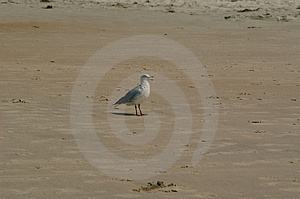 Seagull On Beach Royalty Free Stock Photography - Image: 15607