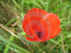 Red Poppy Stock Photography - Image: 15652