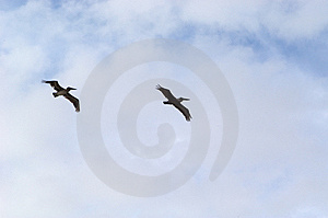 Pelicans In Flight Stock Photo - Image: 15750