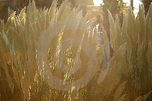 Grass Blooms Backlit Stock Images - Image: 15754