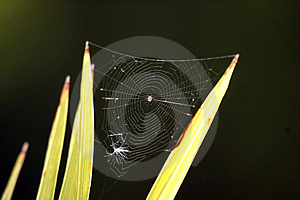 Spider Web Royalty Free Stock Photography - Image: 15937