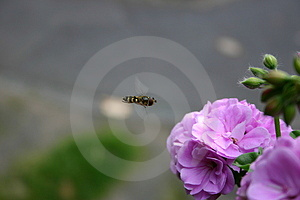 Flying Bee Stock Photos - Image: 16023