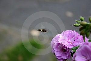 Flying Bee Stock Photos - Image: 16023
