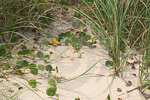 Ivy In The Dunes Stock Photography - Image: 16702