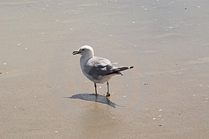 Seagull Walking On Sand Royalty Free Stock Photos - Image: 16968