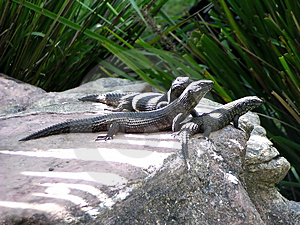 Skinks Stock Photography - Image: 17072
