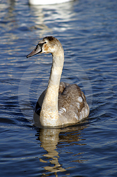 Cygnet Stock Photo - Image: 17650