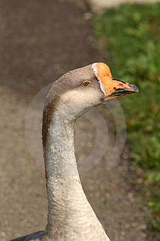 Domestic Goose - Gander's Profile Stock Photography - Image: 17662