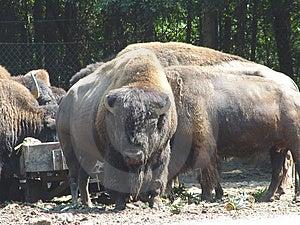 American Buffalo Royalty Free Stock Photo - Image: 17685