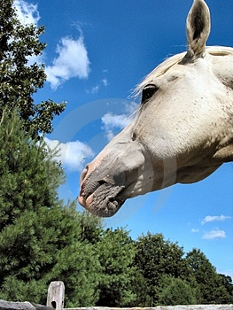 Arabian Stallion – 4030 Royalty Free Stock Image - Image: 18156