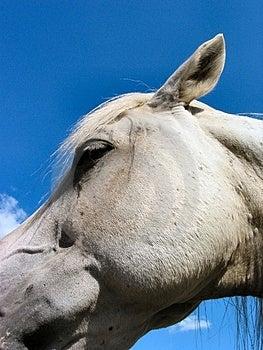 Arabian Stallion – 4029 Royalty Free Stock Photography - Image: 18157