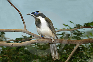 Honeyeater au visage bleu Photo stock