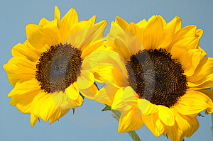 Twin Sunflowers Stock Image