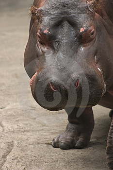 Hippo. Royalty Free Stock Photo