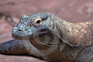 Nile Monitor Lizard Immagini Stock