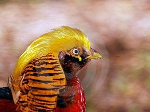 Золотистое Pheasent Стоковые Изображения RF
