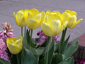 Yellow Tulips Free Stock Photography