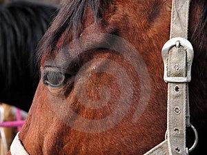 Horse's Head Free Stock Image